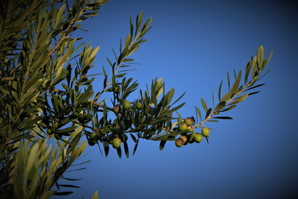 Our olives on olive tree