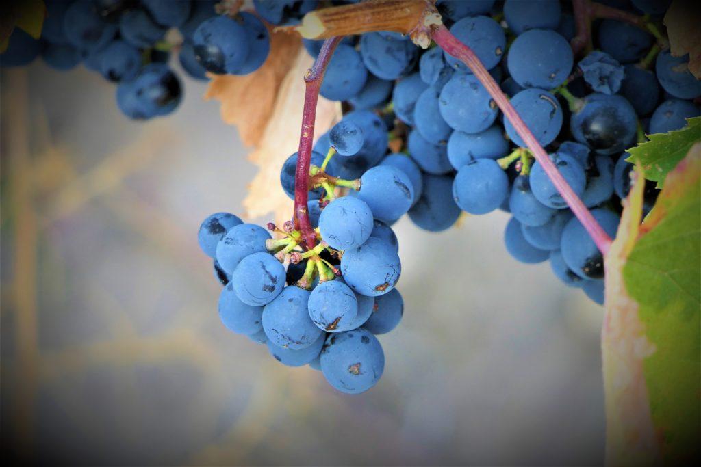 Nuestra uva Malbec
